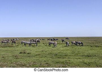 588 Zebra Herd in the Serengeti