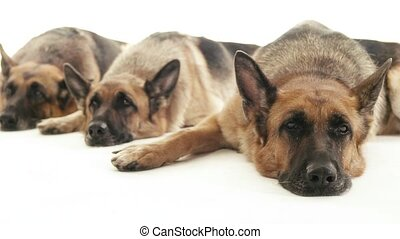 5of14 alsatian dogs in studio, pets