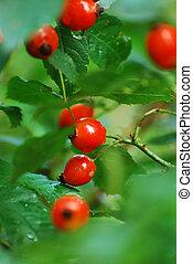 6, arbusto, rosehip, lluvia, después
