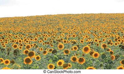 6-in-1 Sunflower field