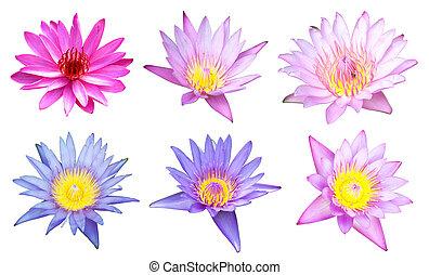 6 lotus on white
