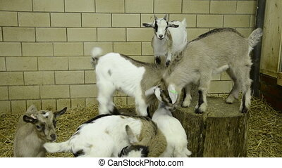 6 young goats playing in stable