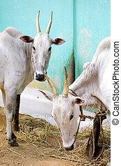 601 long horns