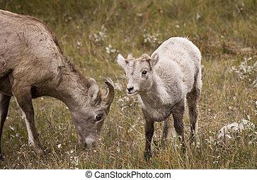 601 Young Rocky Mountain Bighorn Sheep