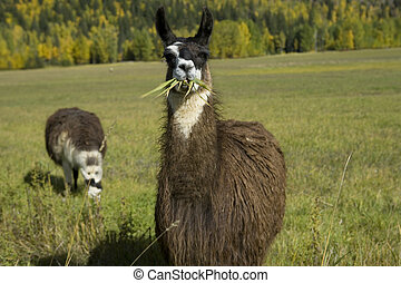 604 Llama eating grass - Llama eating grass
