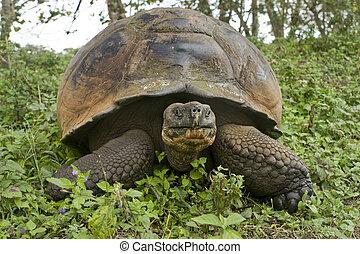 631 Giant Galapagos tortoise, Geochelone elephantopus - A...