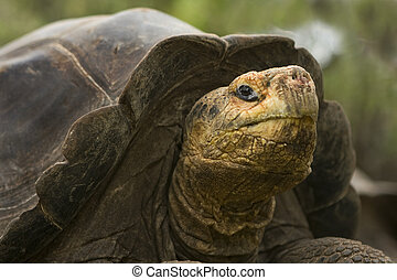 665 Giant Galapagos Tortoise - Giant Galapagos Tortoise