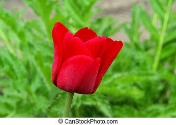 68, tulipán