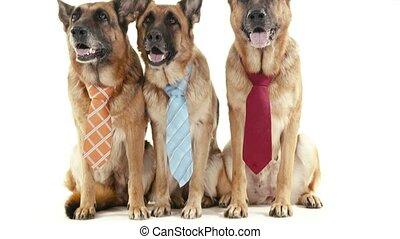 6of14 alsatian dogs in studio, pets