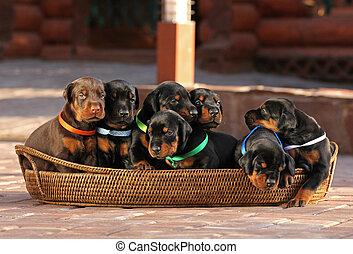 7, hundebabys, in, korb