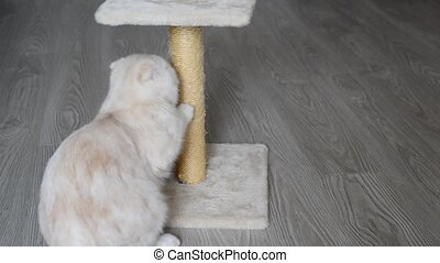 7-month kitten sharpening its claws on scratching post -...