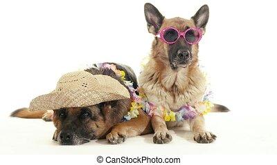 7of14 alsatian dogs in studio, pets