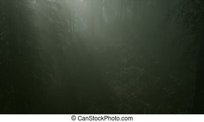 8K Misty Spring Morning in Pine Tree Forest - 8k misty...