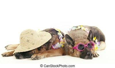8of14 alsatian dogs in studio, pets