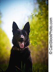 9 month old shepherd dog in the field