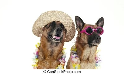 Pets, animals and behavior, two funny pedigreed german shepherd dogs with hat and sunglasses. Studio shot, white background. Part 9 of 14