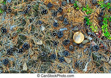 aß, schwammerl, hut, tanne, foto, tundra, boden, trockene zweige, nadeln, wald, yakutia., herbst, wachsen