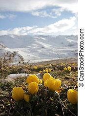 açafrão, amarela, natureza