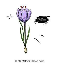 açafrão, flor, vetorial, drawing., mão, desenhado, erva, e, alimento, spice.