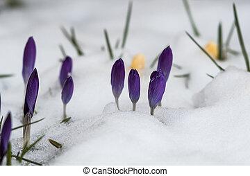 açafrões, flor, violeta, cama, asnowy