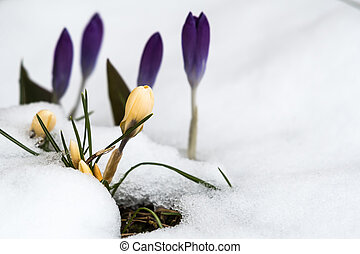 açafrões, neve, springtime, derretendo