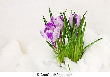 açafrões, violeta, neve