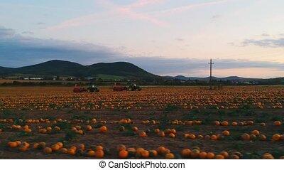 aérien, beau, gros plan, tracteurs, potirons, bourdon, coup, champ, sunset., orange, clair