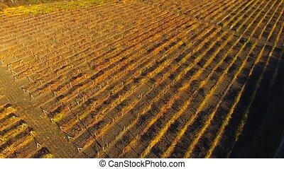 aérien, champs, automne, raisins, saison, vue.