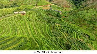 aérien, plantation, vue, mountain., terrasse, thé