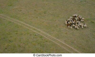 aérien, suivre, vue, bourdon, courant, sheeps, sheep., troupeau, pasture.