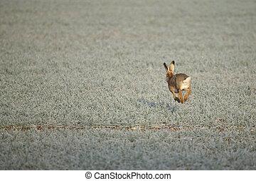 a, ノウサギ, 上に, a, 凍りつくほどである, 朝