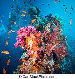 a, 水下呼吸器潛水員, 在水下游泳, 由于, 魚