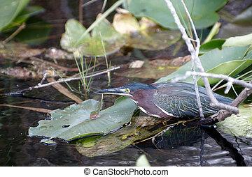 a, 美しい, 小さい, 鳥, から, フロリダ