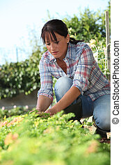 a 30 years old woman lifting a lettuce in a kitchen garden