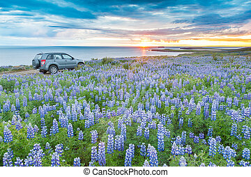 A 4WD car parked in a lupins field next to the atlantic coast looking at the midnight sun. Husavik, Iceland, Europe.