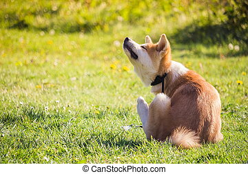a Akita dog sitting in the grass and scratching his neck