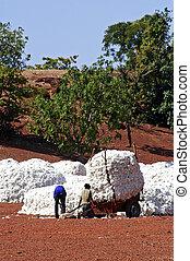 a, algodão, colheita