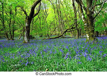 a, antiga, bluebell, floresta
