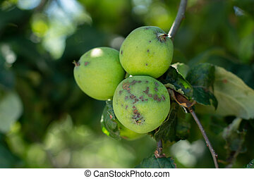 apple orchard with apples in summer