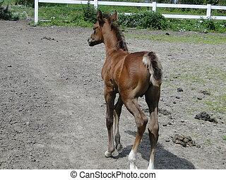 Arabian foal walking off