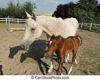 a Arabian foal walking with its mom