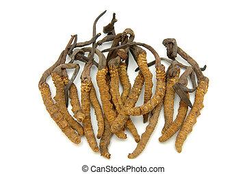 (a, ascomycete, género, fungi), cordyceps