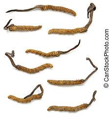 (a, ascomycete, genere, fungi), cordyceps