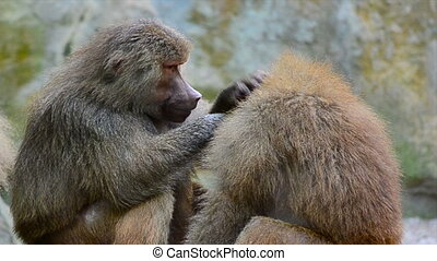 a baboon cleaning another baboon