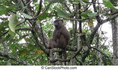 A Baboon Sitting on A Branch of a Tree - A Wild Baboon...