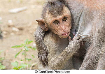 A baby asian monkey with her mother in thailand