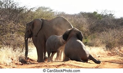 A baby elephant is seen playing with his older sibling in...