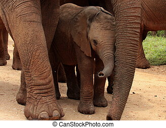 A baby elephant protected by mother