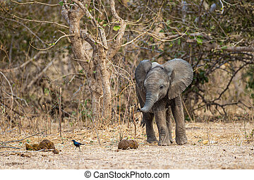 A baby elephant running around behind the herd in Mana Pools, Zimbabwe