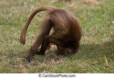 A baby Gelada Baboon